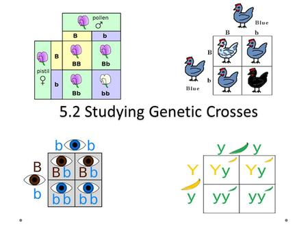 5.2 Studying Genetic Crosses. Agenda Take up homework Lesson 5.2: Studying Genetic Crosses Read pages 208-218 Vocabulary Learning Check page 212 # 7.
