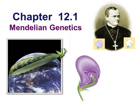 Chapter 12.1 Mendelian Genetics Gregor Mendel  Modern genetics began in the mid-1800s in an abbey garden, where a monk named Gregor Mendel documented.