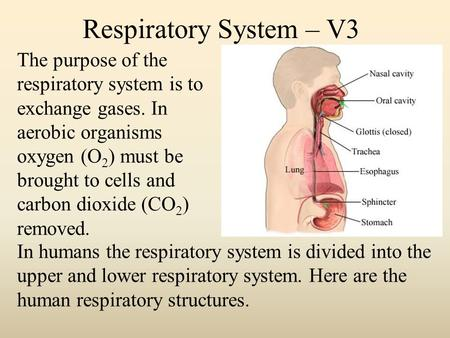 Respiratory System – V3 The purpose of the respiratory system is to exchange gases. In aerobic organisms oxygen (O 2 ) must be brought to cells and carbon.