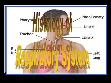 1. 2 Includes : the lung a system of tube 3 Divided into 2 principal regions : conducting portion : nasal cavity, nasopharynx, larynx, trachea, bronchi,
