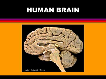 HUMAN BRAIN. l Three major structural components: Cerebrum (top) - large dome-shaped cerebrum; Responsible for intelligence and reasoning. Cerebellum.