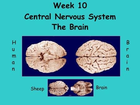 Week 10 Central Nervous System The Brain Sheep HumanHuman BrainBrain Brain.