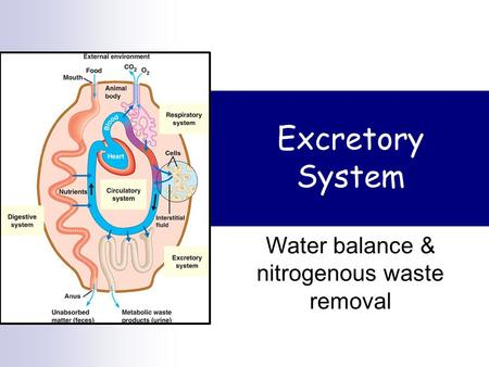 Excretory System Water balance & nitrogenous waste removal.