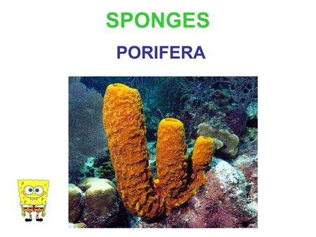 SPONGES PORIFERA. I was part of the Cambrian explosion!