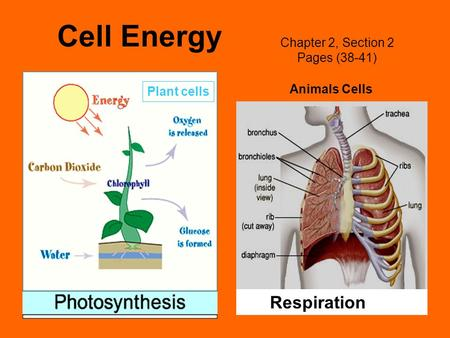 Cell Energy Chapter 2, Section 2 Pages (38-41) Plant cells Animals Cells Respiration.