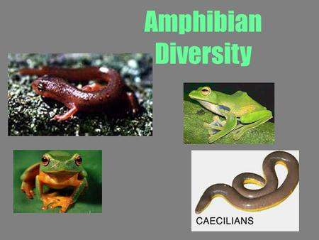 "Amphibian Diversity. Amphibians Term ""amphibian"" means ""double life."" During their life cycle, they live both in the water and on the land –When immature,"