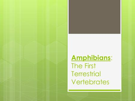 "Amphibians : The First Terrestrial Vertebrates. Infraphylum: Vertebrata Class Amphibia  Amphibia- means "" double life ""  Live their lives in the water."