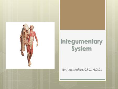 Integumentary System By Alex Muñoz, CPC, NCICS. Integumentary System  Mainly involves skin  Epidermis, dermis, subcutaneous  Use Musculoskeletal section.