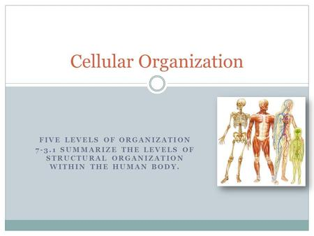 FIVE LEVELS OF ORGANIZATION 7-3.1 SUMMARIZE THE LEVELS OF STRUCTURAL ORGANIZATION WITHIN THE HUMAN BODY. Cellular Organization.
