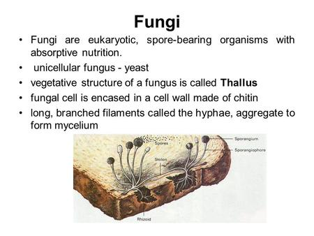 Fungi Fungi are eukaryotic, spore-bearing organisms with absorptive nutrition. unicellular fungus - yeast vegetative structure of a fungus is called Thallus.