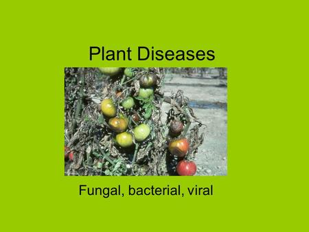 Plant Diseases Fungal, bacterial, viral. Fungi grow best in humid, warm, conditions Fungi cannot make their own food so live on dead or living cells Fungi.