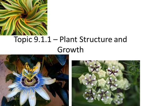 Topic 9.1.1 – Plant Structure and Growth. Kingdom Plantae Filicophytes Spermatophytes Flowers! This is where we will be spending most of our time.