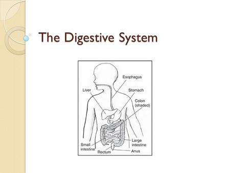 The Digestive System. What Happens During Digestion Foods are broken down and absorbed as nourishment or eliminated as waste. Three Main Processes of.