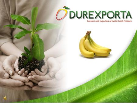 In the 1950´s Ecuador became the largest banana producer in the world and the number one exporter of bananas, covering 12% of the global demand. Ever.