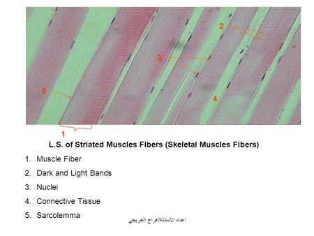 L.S. of Striated Muscles Fibers (Skeletal Muscles Fibers) 1.Muscle Fiber 2.Dark and Light Bands 3.Nuclei 4.Connective Tissue 5.Sarcolemma 1 2 4 3 5 اعداد.