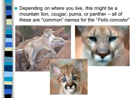 "Depending on where you live, this might be a mountain lion, cougar, puma, or panther – all of these are ""common"" names for the ""Felis concolor"""