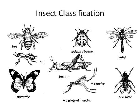 Insect Classification. Insects are members of the Phylum Arthropoda (jointed foot) Five important extant Classes of Arthropods are arachnids, chilopods,