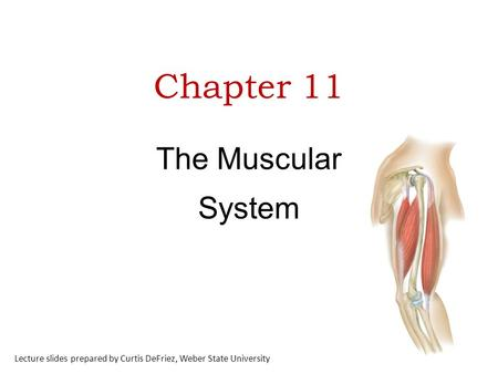 Chapter 11 The Muscular System Lecture slides prepared by Curtis DeFriez, Weber State University.