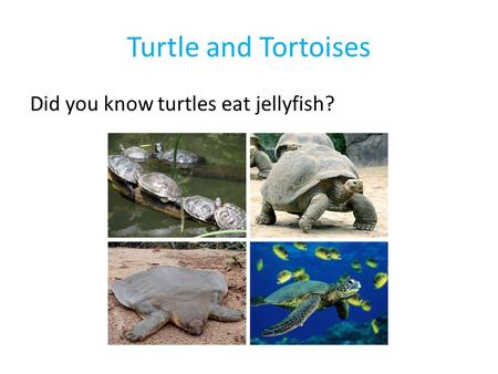 Turtle and Tortoises Did you know turtles eat jellyfish?