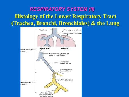 RESPIRATORY SYSTEM (II) Histology of the Lower Respiratory Tract (Trachea, Bronchi, Bronchioles) & the Lung.