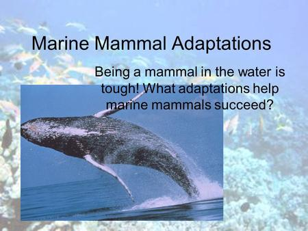 Marine Mammal Adaptations Being a mammal in the water is tough! What adaptations help marine mammals succeed?