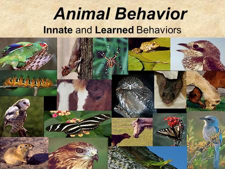 Animal Behavior Innate and Learned Behaviors. Behavior An activity or action that helps an organism survive in its environment. Behavior can be thought.