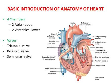 BASIC INTRODUCTION OF ANATOMY OF HEART 4 Chambers – 2 Atria - upper – 2 Ventricles- lower Valves -Tricaspid valve -Bicaspid valve -Semilunar valve.