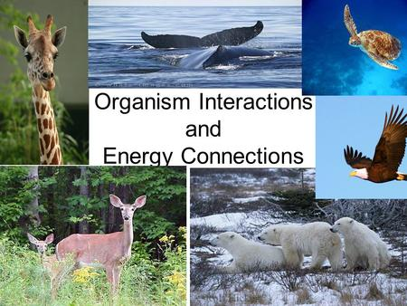 Organism Interactions and Energy Connections. Energy Connections All living things need energy to survive.