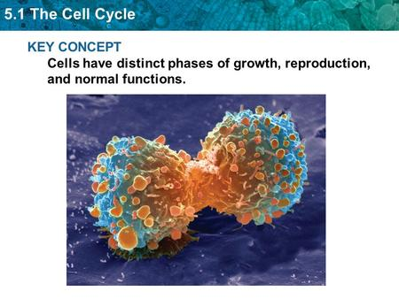 5.1 The Cell Cycle KEY CONCEPT Cells have distinct phases of growth, reproduction, and normal functions.