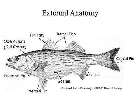External Anatomy. Internal Anatomy Ichthyology is the branch of zoology devoted to the study of fishes. This includes skeletal fish (Osteichthyes),