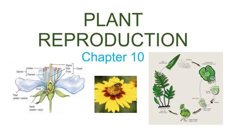 PLANT REPRODUCTION Chapter 10. Plant Reproduction Plants can reproduce both sexually and asexually In asexual reproduction a new plant can be grown from.