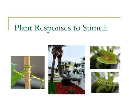 Plant Responses to Stimuli. Tropism – movement toward or away from a stimuli Phototropism – growth toward light Gravitropism – growth against or with.