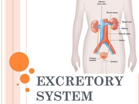 EXCRETORY SYSTEM. Excretory System – removes excess water, H 2 O, urea, carbon dioxide, CO 2, and other wastes from our blood. Kidneys – filter out excess.