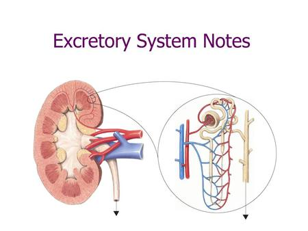 Excretory System Notes Excretory System Function: maintain homeostasis by removing waste materials from the body Every cell produces metabolic wastes.