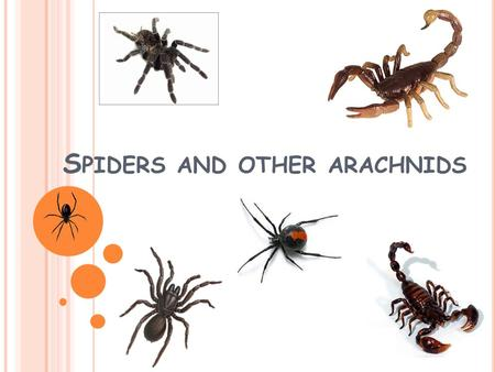 S PIDERS AND OTHER ARACHNIDS. Arachnids and insects are very similar but there are some differences.