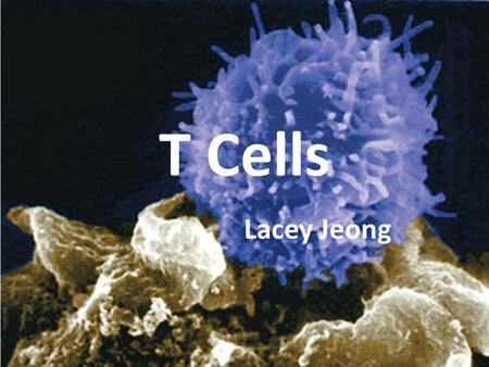 T Cells Lacey Jeong. What is a T Cell?? Thymus cell – produced and processed by the thymus gland Lymphocyte (white blood cell) – protect body from infection.