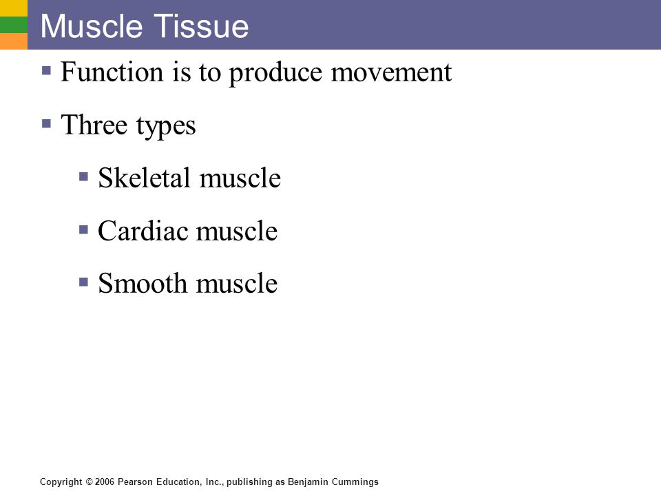 Copyright © 2006 Pearson Education, Inc., publishing as Benjamin Cummings Muscle Tissue Types  Skeletal muscle  Can be controlled voluntarily  Cells attach to connective tissue  Cells are striated  Cells have more than one nucleus Figure 3.20a