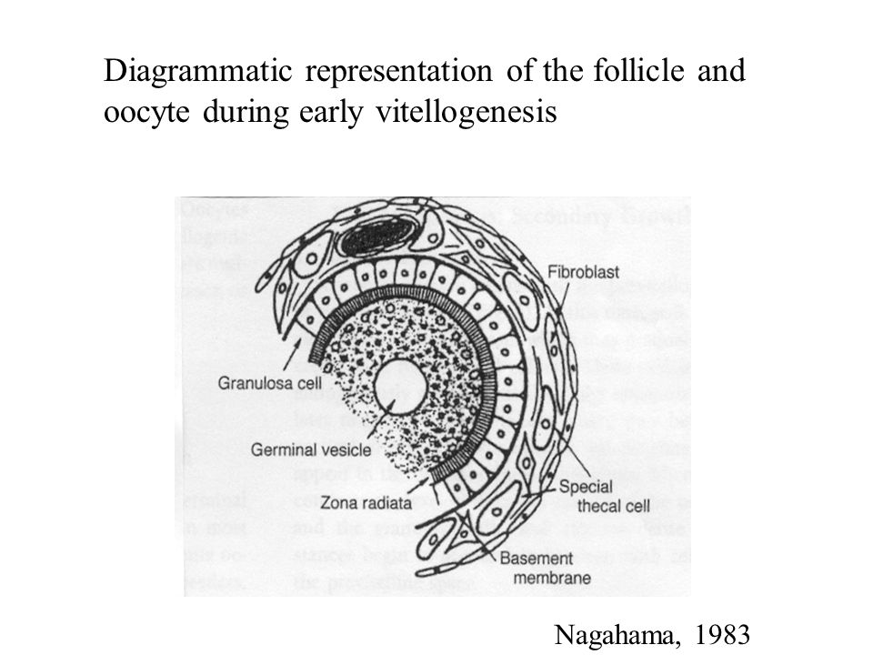 Oocyte Recruitment Three modes of oocyte development in teleosts 1)Synchronous- all oocytes develop synchronously and ovulate at the same time.