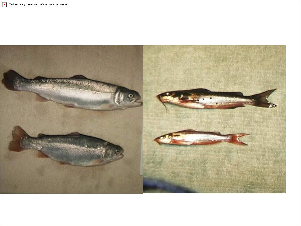 My Research Release patterns of GH in fish.Somatostatin role in GH release.