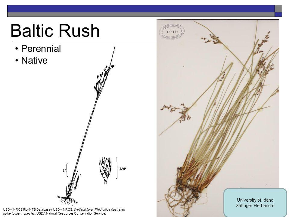 Big Bluestem Perennial Native USDA-NRCS PLANTS Database / Hitchcock, A.S.