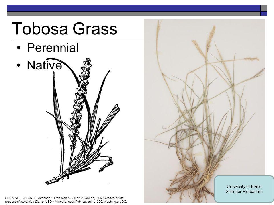 Nebraska Sedge Perennial Native USDA-NRCS PLANTS Database / Britton, N.L., and A.