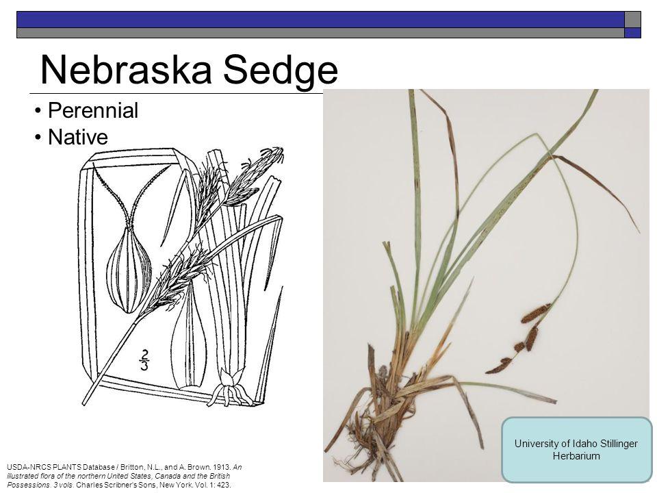 Bluebunch Wheatgrass Perennial Native USDA-NRCS PLANTS Database / Hitchcock, A.S.