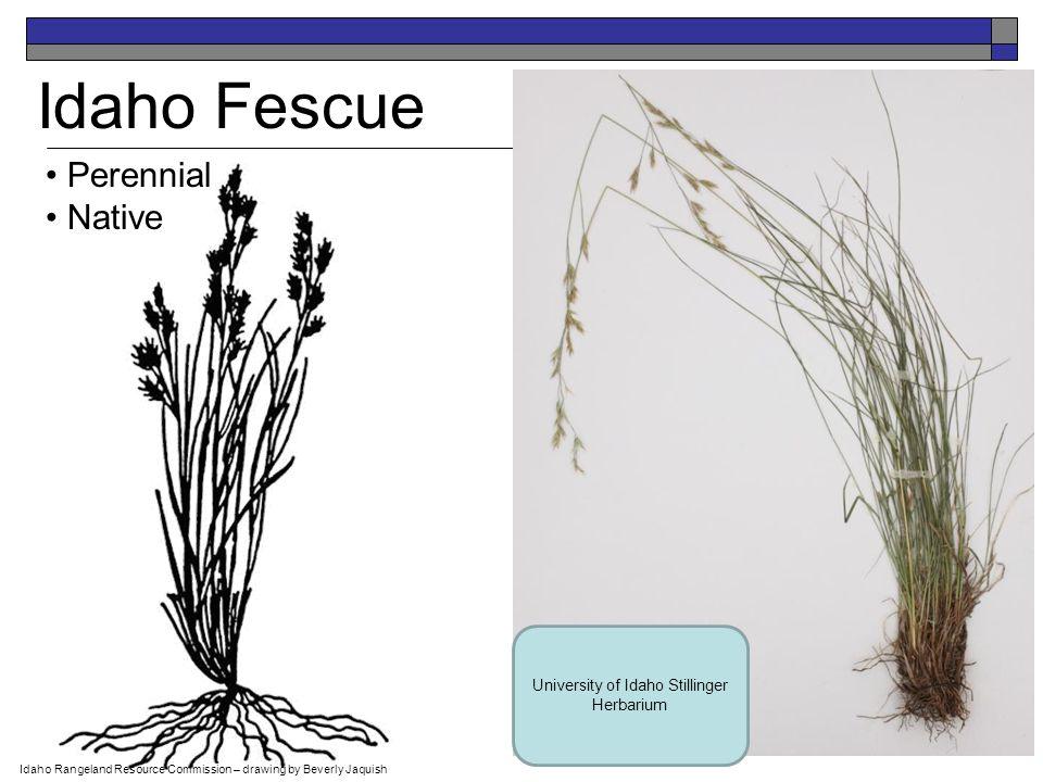 Buffalograss Perennial Native Mike Haddock USDA-NRCS PLANTS Database / Hitchcock, A.S.