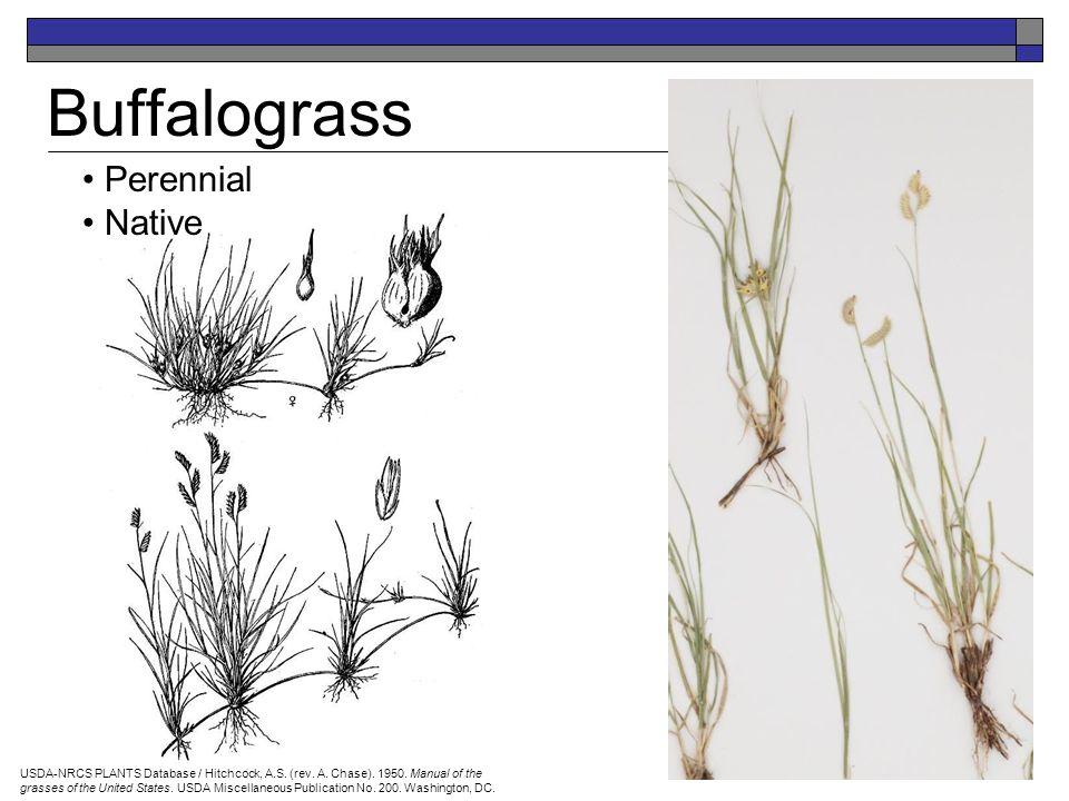 Perennial Introduced Crested Wheatgrass Idaho Rangeland Resource Commission – drawing by Beverly Jaquish University of Idaho Stillinger Herbarium