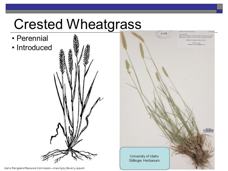 Blue Grama Perennial Native USDA-NRCS PLANTS Database / Hitchcock, A.S.