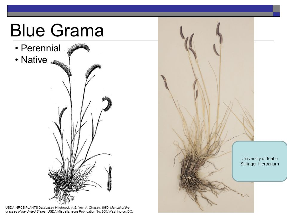 Cheatgrass (or Downy Brome) Annual Introduced USDA-NRCS PLANTS Database / Hitchcock, A.S.