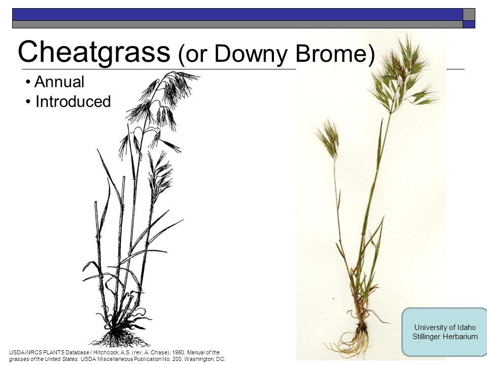 Baltic Rush Perennial Native USDA-NRCS PLANTS Database / USDA NRCS.