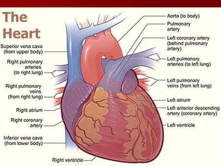 The Heart Functions of the heart Blood pressure Blood pressure Routing blood Routing blood One-way blood flow One-way blood flow Regulate blood supply.