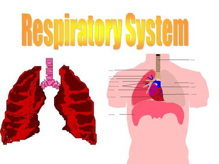 What to think about…. What is the function of the respiratory system? What are the parts of the respiratory system? What are the functions of the different.