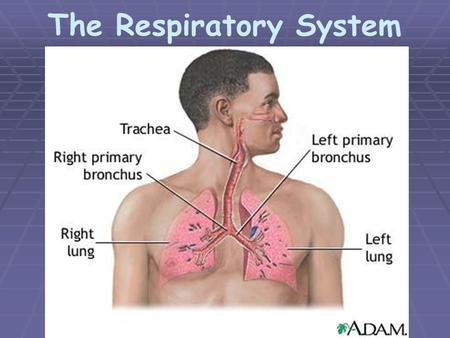 The Respiratory System. Two Major Divisions  Upper Respiratory Tract – nasal cavity, pharynx, and larynx * External Respiration – exchange of gases between.